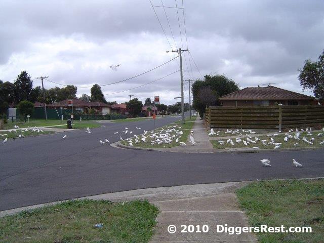 diggers-rest-corellas